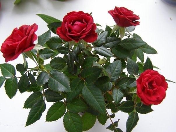 Как укоренить розу из букета?